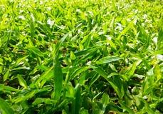 Beschaffenheit des grünen Grases Stockbild