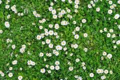 Beschaffenheit des grünen Grases des Frühlinges mit Blumen Stockfoto