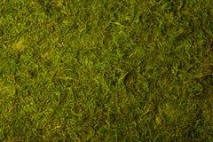 Beschaffenheit des grünen Mooses Stockfotos