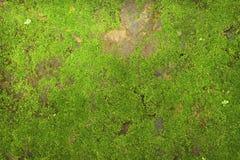 Beschaffenheit des grünen Mooses auf Steinwandhintergrund Stockfotografie