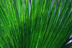 Beschaffenheit des grünen Palmblattes Stockfotos
