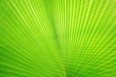 Beschaffenheit des grünen Palmblattes Stockfoto