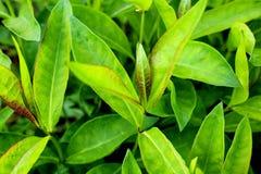 Beschaffenheit des grünen saftigen der Blätter Hintergrundes draußen Stockfotos