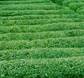 Beschaffenheit des grünen Tees lizenzfreie stockbilder