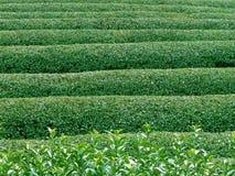 Beschaffenheit des grünen Tees Stockfotos