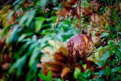 Beschaffenheit des Granatapfels lizenzfreies stockbild
