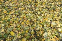 Beschaffenheit des Herbstteppichs von gefallenen Blättern Stockfoto