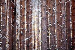 Beschaffenheit des Kiefernstamm-Winterwaldes Lizenzfreie Stockbilder