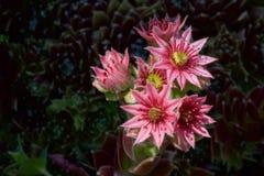 Beschaffenheit des Lichtes sempervivum tectorum Blume morgens Lizenzfreie Stockfotografie