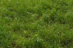 Beschaffenheit des natürlichen Hintergrundes des grünen Grases Lizenzfreie Stockbilder