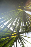 Beschaffenheit des Palmblattes Lizenzfreie Stockfotos
