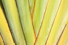 Beschaffenheit des Stiels der Banane (Reisendpalme) Stockfotos