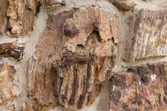 Beschaffenheit des versteinerten Holzes, die wie ein furchtsames Gesicht aussieht stockbilder