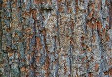 Beschaffenheit - eine Barke einer alten Eiche Hölzernes Baum-Hintergrund-Muster Stockbilder