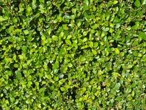 Beschaffenheit einer Hecke des glatt getrimmten Buchsbaumbusches stockbild