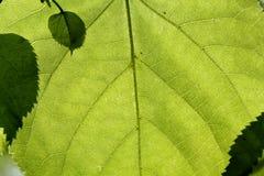 Beschaffenheit eines grünen Blattes Lizenzfreies Stockbild