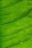 Beschaffenheit eines grünen Blattes Stockbilder