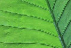 Beschaffenheit eines grünen Blattes als Hintergrund Stockfotografie