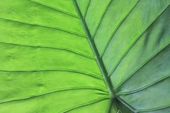 Beschaffenheit eines grünen Blattes als Hintergrund Stockfoto