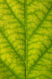 Beschaffenheit eines grünen Blattes als Hintergrund Stockfotos
