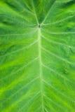 Beschaffenheit eines grünen Blattes als Hintergrund Lizenzfreies Stockfoto