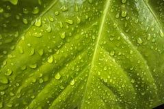 Beschaffenheit eines grünen Blattes mit Wassertropfen Lizenzfreie Stockfotografie