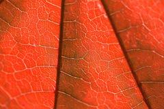 Beschaffenheit eines roten Blattes Stockfotos
