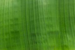 Beschaffenheit Hintergrundbeleuchtung frischen grünen Blattes Lizenzfreies Stockfoto