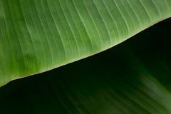 Beschaffenheit Hintergrundbeleuchtung frischen grünen Blattes Lizenzfreie Stockfotos
