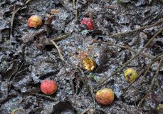 Beschaffenheit und Hintergrund von Äpfeln auf gefrorenem Boden Stockbilder