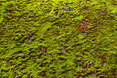 Beschaffenheit vom grünen Moos auf konkretem Boden Stockfoto