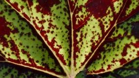 Beschaffenheit von Begonia Leaf Stockbild