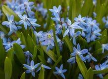 Beschaffenheit von blauen Schneeglöckchen mit grünen Blättern Frühling kam stockbilder