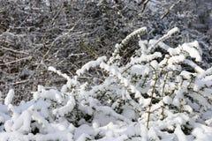 Beschaffenheit von den Büschen bedeckt mit Schnee Lizenzfreie Stockfotos