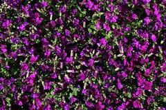 Beschaffenheit von den dunklen violetten Blumen von Aubrieta-Klasse ein Sonnenbad nehmend im Blumenbeet Stockfoto