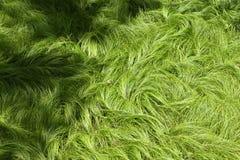 Beschaffenheit von den Gräsern geschaukelt durch das Wind NO1 stockfotos