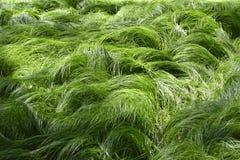 Beschaffenheit von den Gräsern geschaukelt durch das Wind NO3 stockfotografie