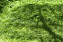 Beschaffenheit von den Gräsern geschaukelt durch den Wind No2 stockbilder