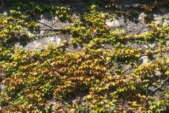 Beschaffenheit von Efeubl?ttern auf einer Steinwand, Konzept von alten St?dten, H?user, Geb?ude, Vegetation auf Beton, Platz f?r  lizenzfreie stockfotografie