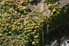 Beschaffenheit von Efeubl?ttern auf einer Steinwand, Konzept von alten St?dten, H?user, Geb?ude, Vegetation auf Beton, Platz f?r  stockfoto
