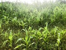 Beschaffenheit von grünen kleinen Sprösslingen einer jungen Maispflanze mit Blättern Der Hintergrund lizenzfreie stockfotos