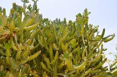 Beschaffenheit von großen hohen mexikanischen stacheligen scharfen frischen Kakteen des langen Grüns mit den Dornen gegen den bla lizenzfreie stockfotografie