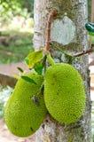 Beschaffenheit von Jackfruit Lizenzfreies Stockfoto