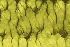 Beschaffenheit von Jackfruits, wie in Asien gefunden vektor abbildung