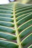 Beschaffenheit von Palmblättern Stockfotos