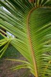 Beschaffenheit von Palmblättern Lizenzfreies Stockfoto