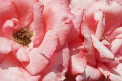 Beschaffenheit von rosafarbenen Blumenblättern Stockbilder