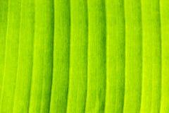 Beschaffenheiten eines grünen Bananen-Blattes stockfotos
