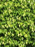 Beschaffenheiten von Ficus lässt Nahaufnahme Stockbild