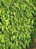 Beschaffenheiten von Ficus lässt Nahaufnahme Stockbilder